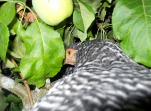 Maybe if she hides back in these apple leaves, we won't find her and put her in the hen house.