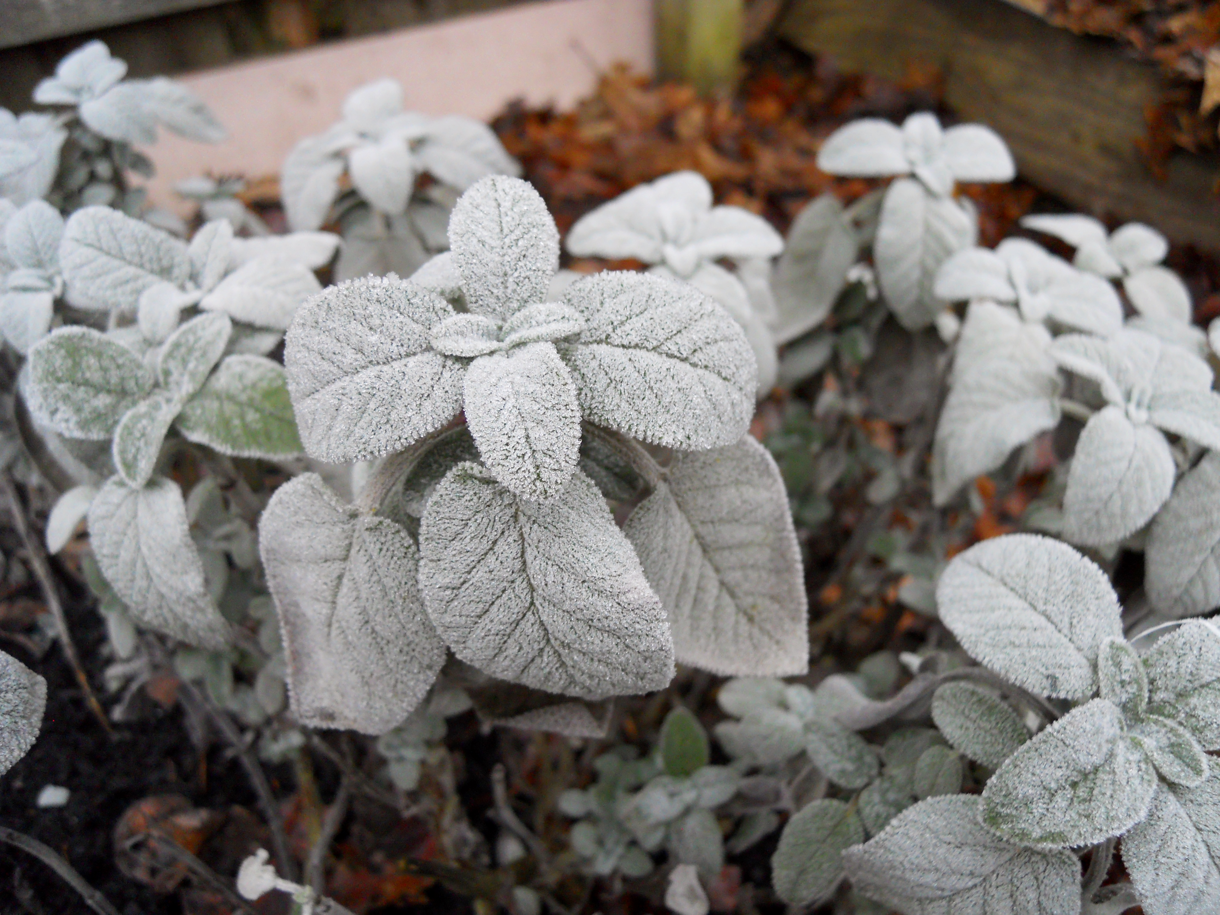 Frost on the…Sage