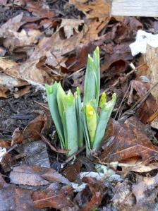 Baby Daffodils