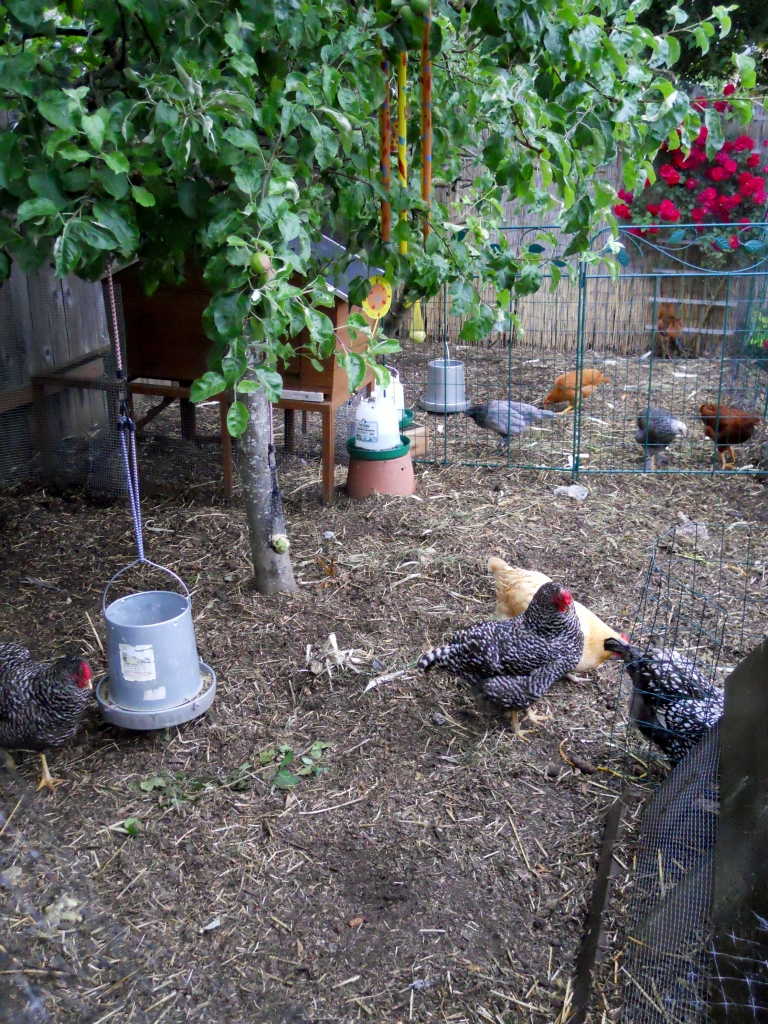 Raggedy Hens & Rowdy Pullets