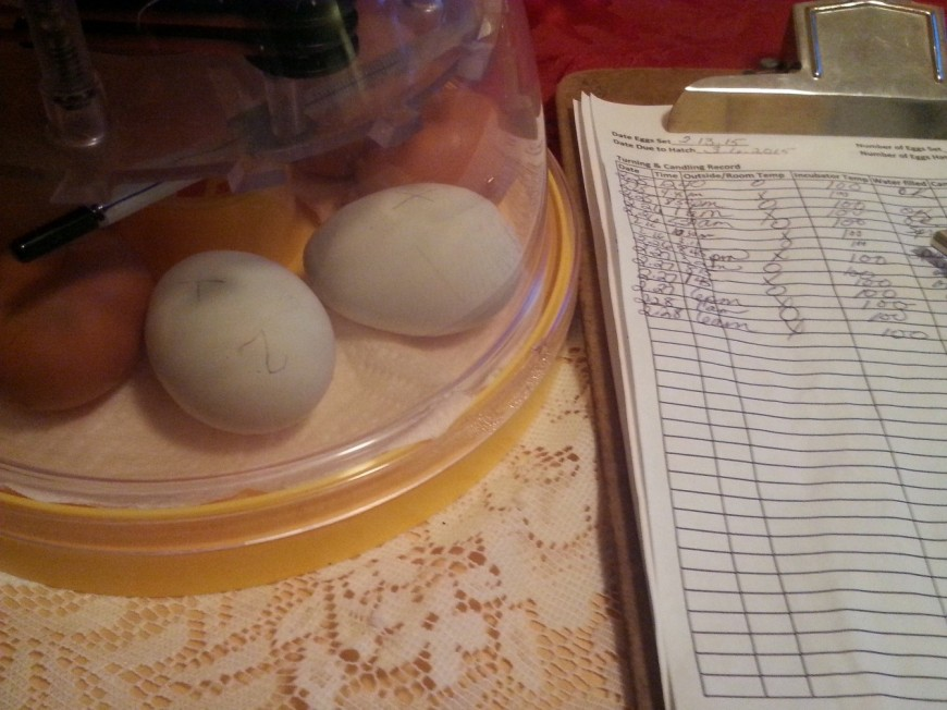Chicken Egg Incubation